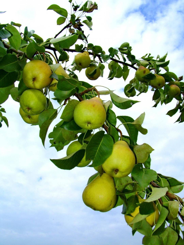 Выращивание груши сорта кафедральная