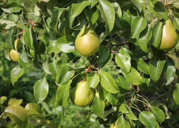 Груша феерия: описание, фото, отзывы о сорте, опылители - растения и огород