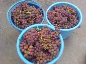 Сорт винограда розовый ранний, описание сорта с характеристикой и отзывами, а также особенности посадки и выращивания