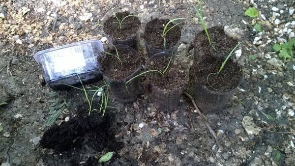Кортадерия или пампасная трава для дачного участка: фото, описание видов и сортов, посадка и уход