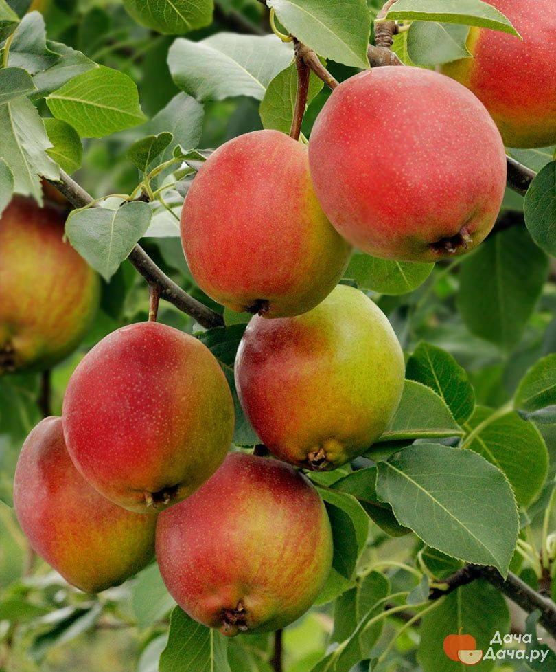 Груша «красуля»: описание сорта и особенности выращивания