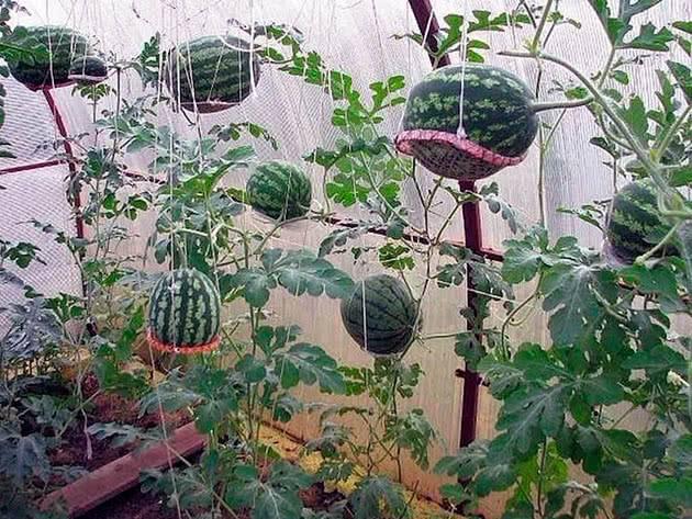 Выращивание арбузов в теплице: описание подходящих сортов, посадка и уход, формирование