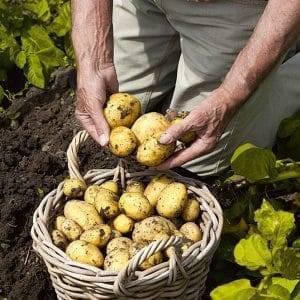 Картофель каратоп: описание сорта и советы по выращиванию