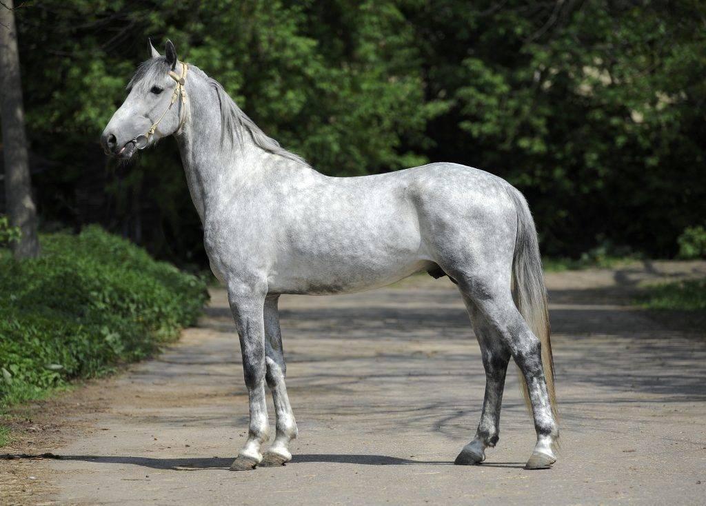 Орловская порода лошадей: описание, фото и видео, характеристики, история, испыания
