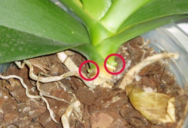 Как нарастить и отсадить детку орхидеи : способы, как отделить в домашних условия
