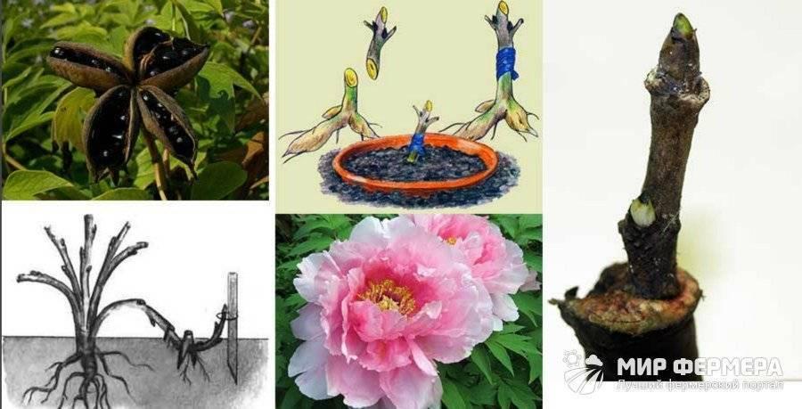 Древовидный пион размножение черенками, семенами и делением куста осенью и весной (фото, видео)