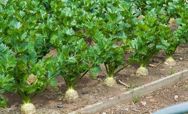 Как сохранить корневой, черешковый и листовой сельдерей