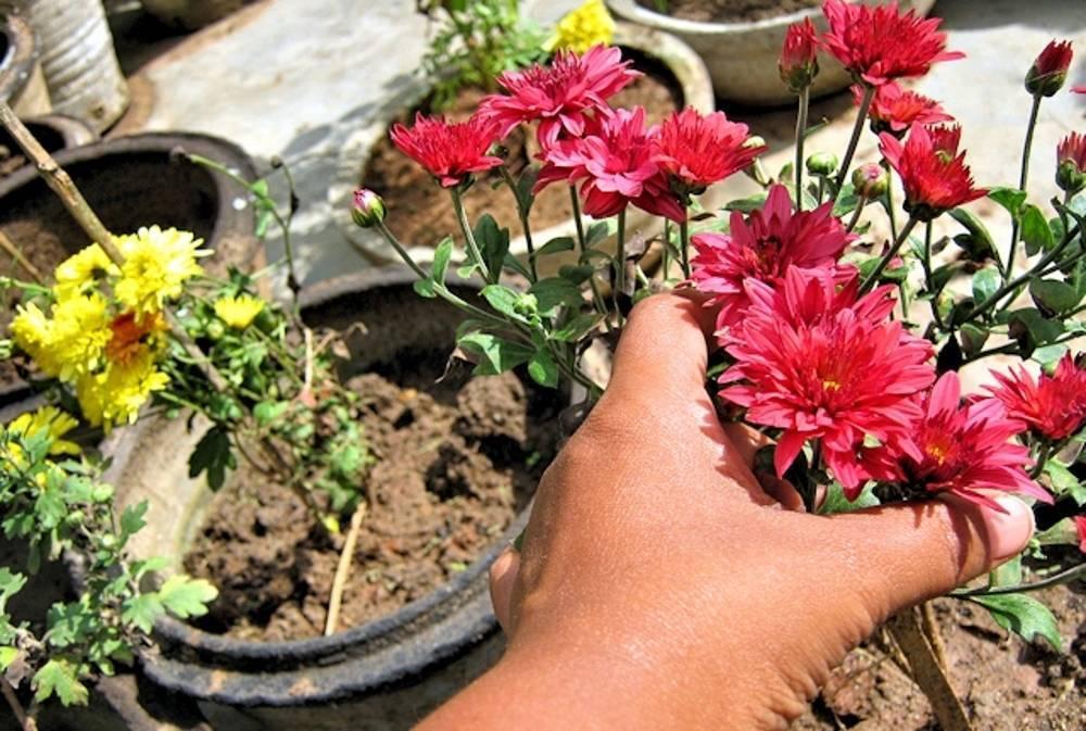 Посадка и уход за хостой (44 фото): выращивание хосты в открытом грунте. как красиво посадить уличные цветы на даче? как правильно сажать весной?