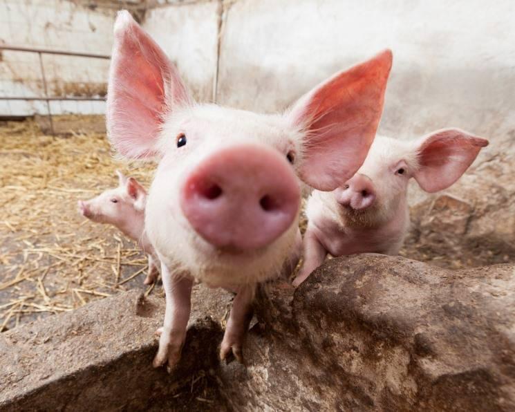 Дрожжи кормовые. применение в животноводстве