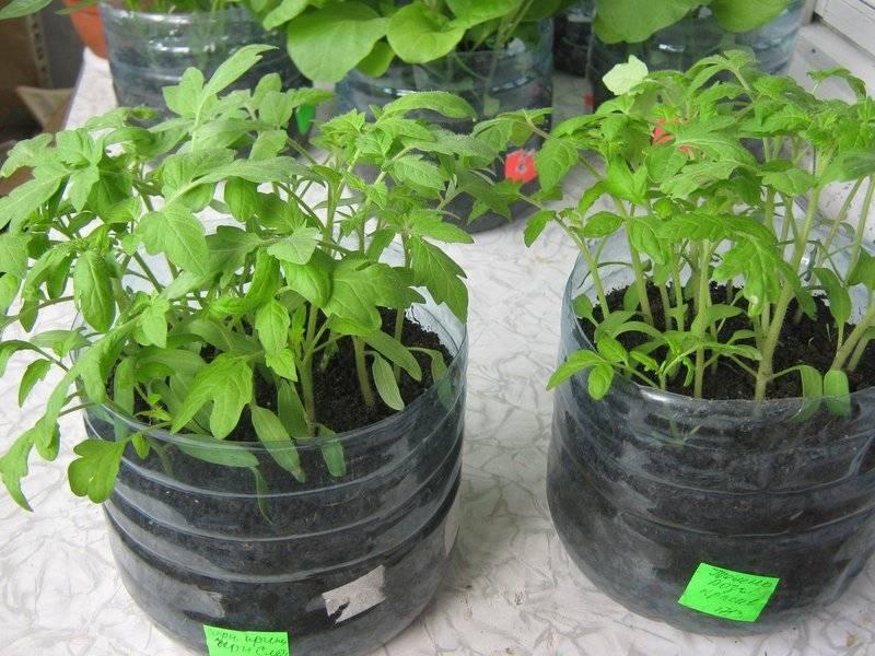 Интересный способ выращивания рассады томатов без земли