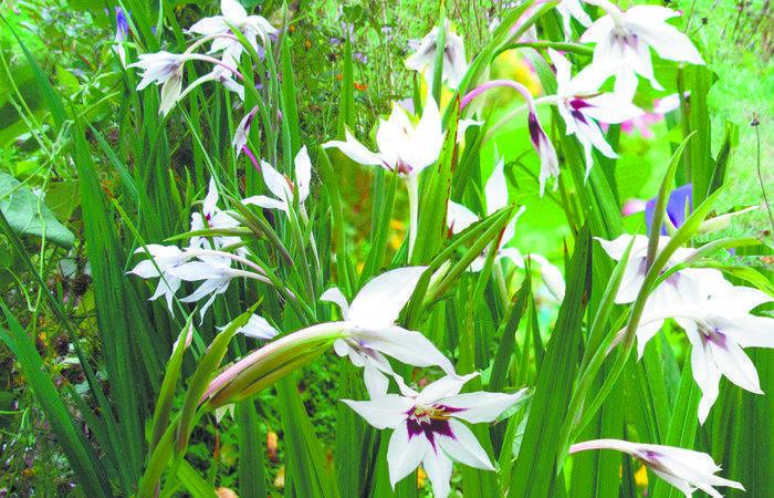 Ацидантера: выращивание и уход, виды и сорта