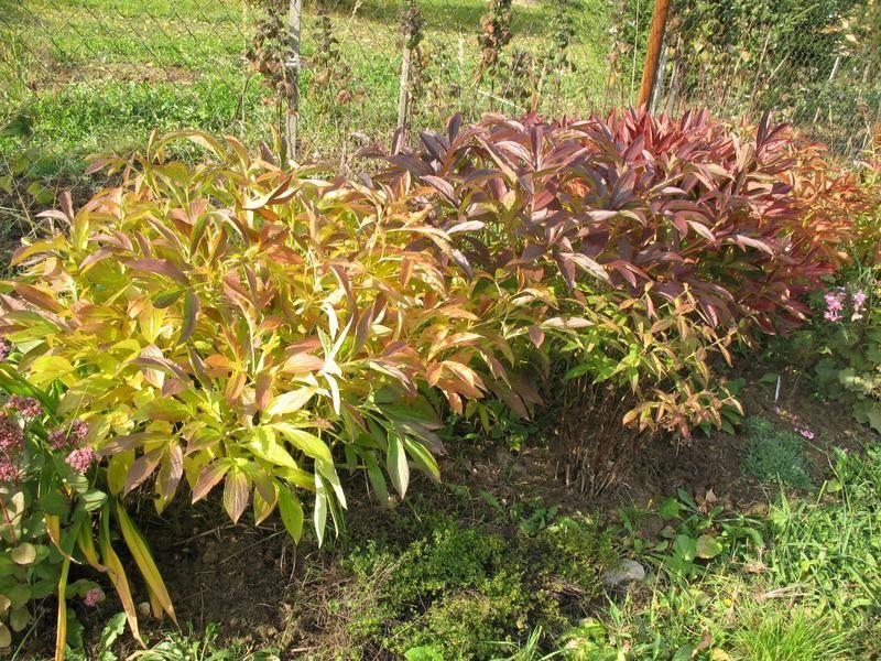 Осенний уход за георгинами и подготовка клубней к зимовке