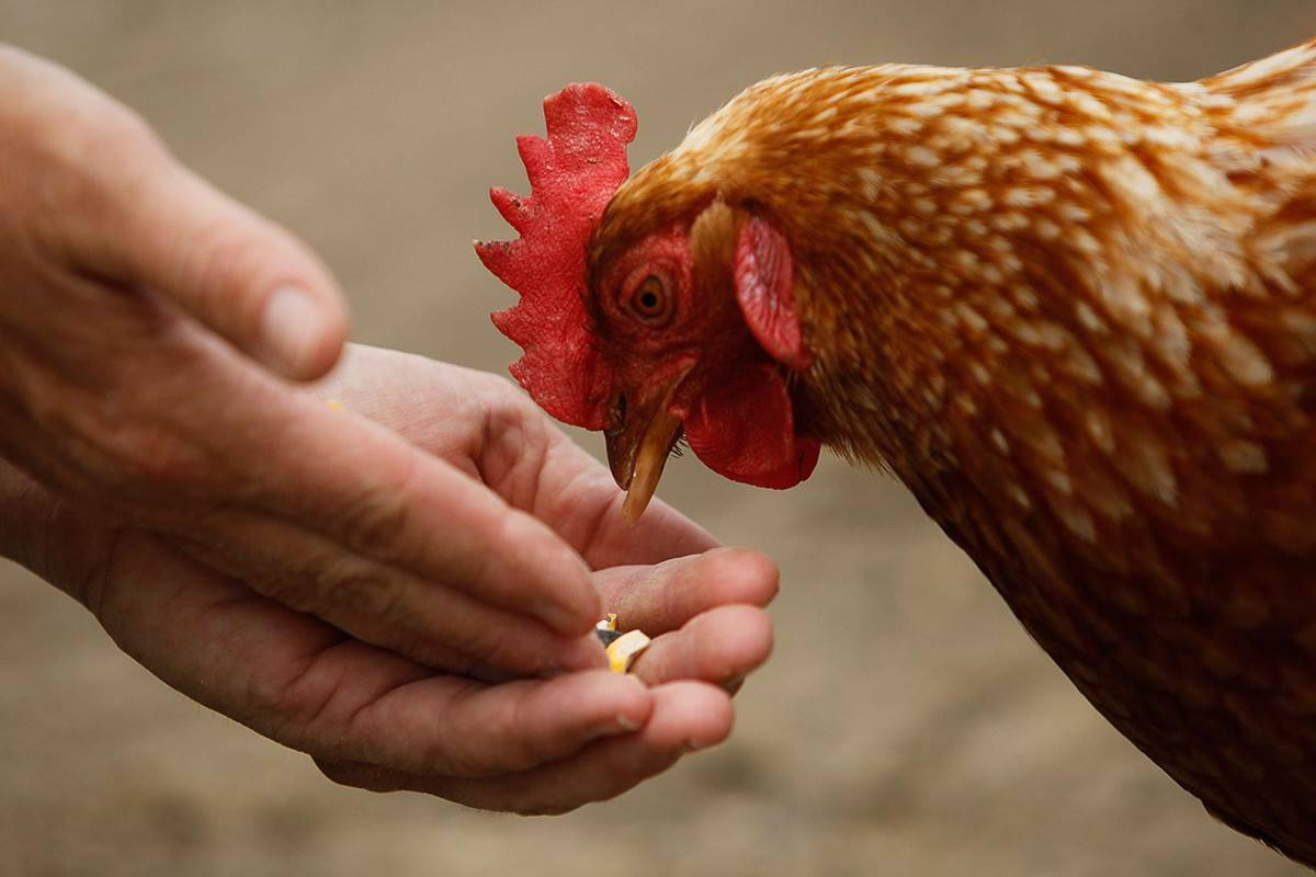 Почему дохнут куры осенью — про кур