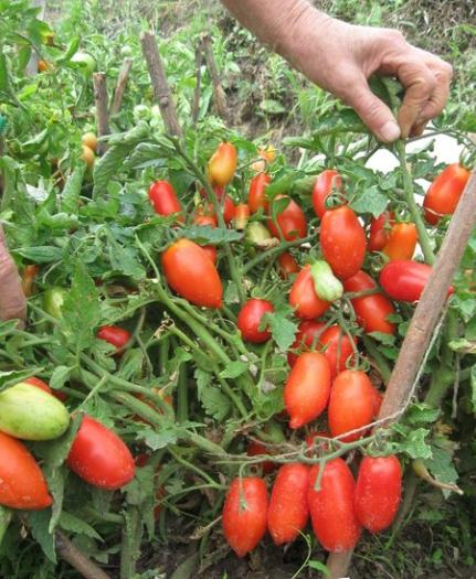 Томат чибис: отзывы, фото, урожайность, описание и характеристика | tomatland.ru