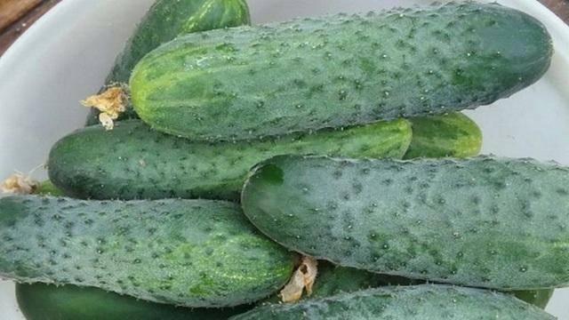 Огурцы паратунка f1: характеристика и описание гибрида, выращивание и уход