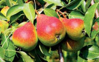 Сорт груши августинка — венец и украшение лета