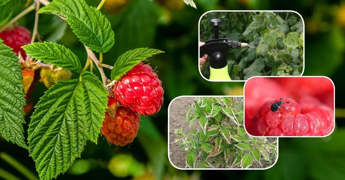 Чем обработать малину весной от болезней и вредителей