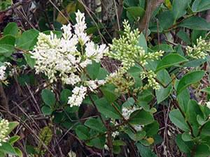 Бирючина: описание, посадка, сорта и уход за растением