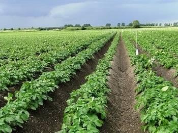 Выращивание картофеля по голландской технологии: описание способа, плюсы и минусы метода, а также правила посадки на даче и в домашних условиях русский фермер