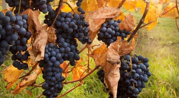 Укрытие винограда на зиму в беларуси