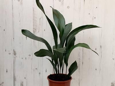 Аспидистра (46 фото): уход в домашних условиях, описание цветов и листьев аспидистры, цветение и виды комнатного растения