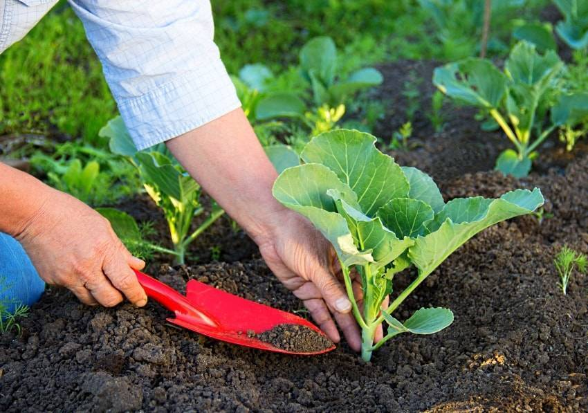 Правильный полив капусты – как правильно организовать в жару на открытом грунте? + видео