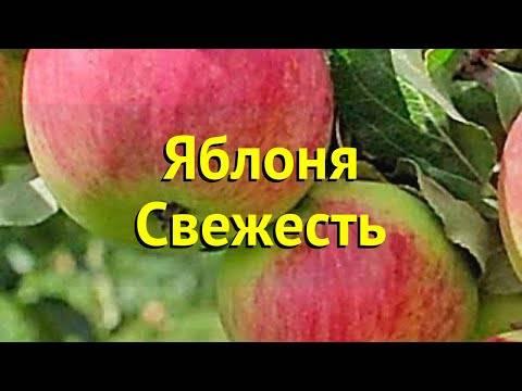 Сорт яблони свежесть