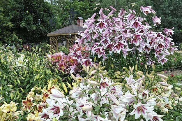 Цветок лилия – посадка и уход в открытом грунте, фото лилий, пересадка и размножение лилий