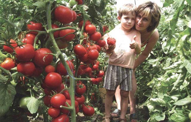 Томат тайлер f1: описание сорта, его урожайность, рекомендации по выращиванию
