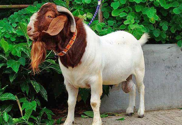 Особенности бурской породы коз