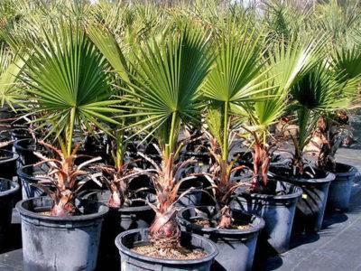 Пальма вашингтония: выращивание, уход и размножение