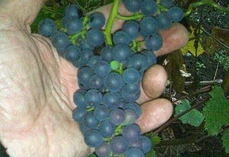 Виноград левокумский: описание сорта его особенностей, отзывы и фото урожая