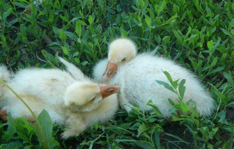 Гуси садятся на ноги: что делать и как лечить упавших птиц