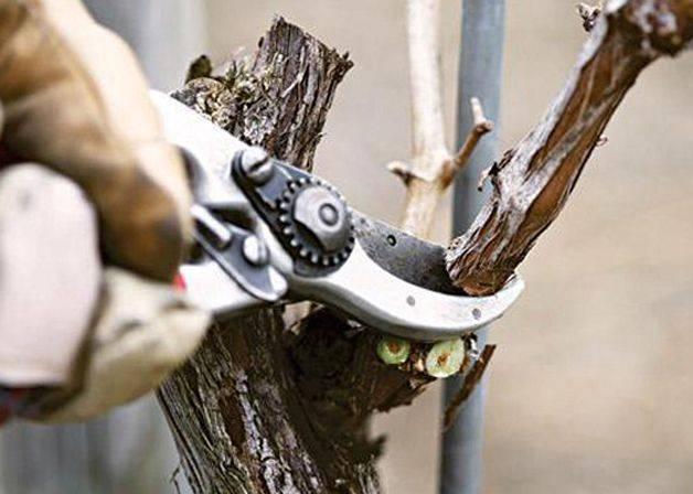 Как хранить зимой виноградные чубуки. как сохранить черенки винограда зимой до весны   дачная жизнь
