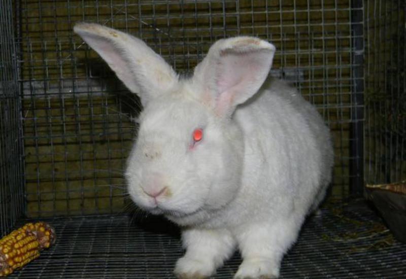 Бройлерная порода кроликов белый паннон