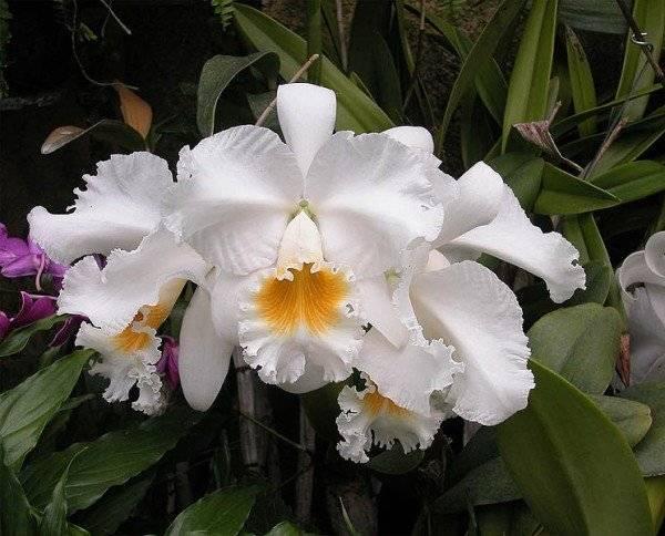 Каттлея: уход в домашних условиях за эффектным экзотическим растением