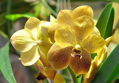 Дендробиум (59 фото):названия разновидностей цветка, размножение орхидеи и уход в домашних условиях