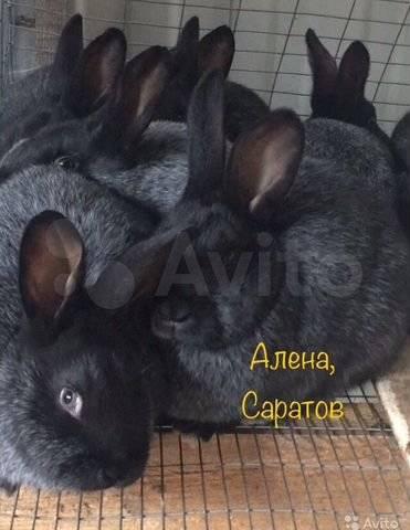 Кролики полтавское серебро: описание, разведение, рацион