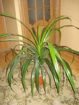 Виды комнатных пальм, уход и пересадка, выращивание из семян