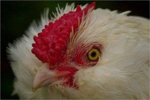 Что такое зоб у курицы, почему он забивается и как помочь птице