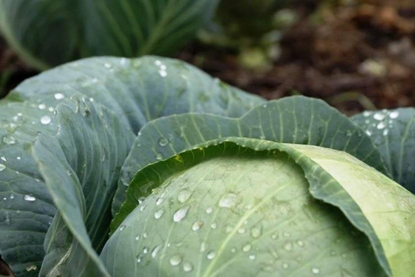 Защита капусты