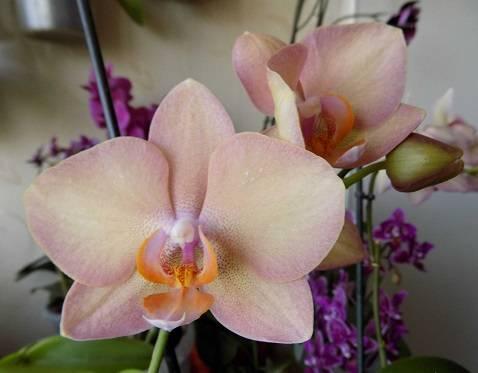 Орхидея «легато» (19 фото): описание, уход за разновидностью орхидеи «бабочка», способы размножения