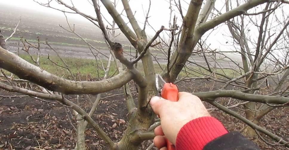 Обрезка грецкого ореха осенью и весной для начинающих в картинках пошагово + видео