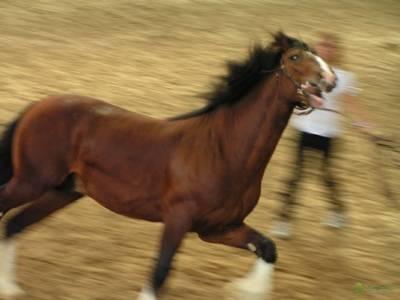 Описание пород лошадей тяжеловозов и их характеристики