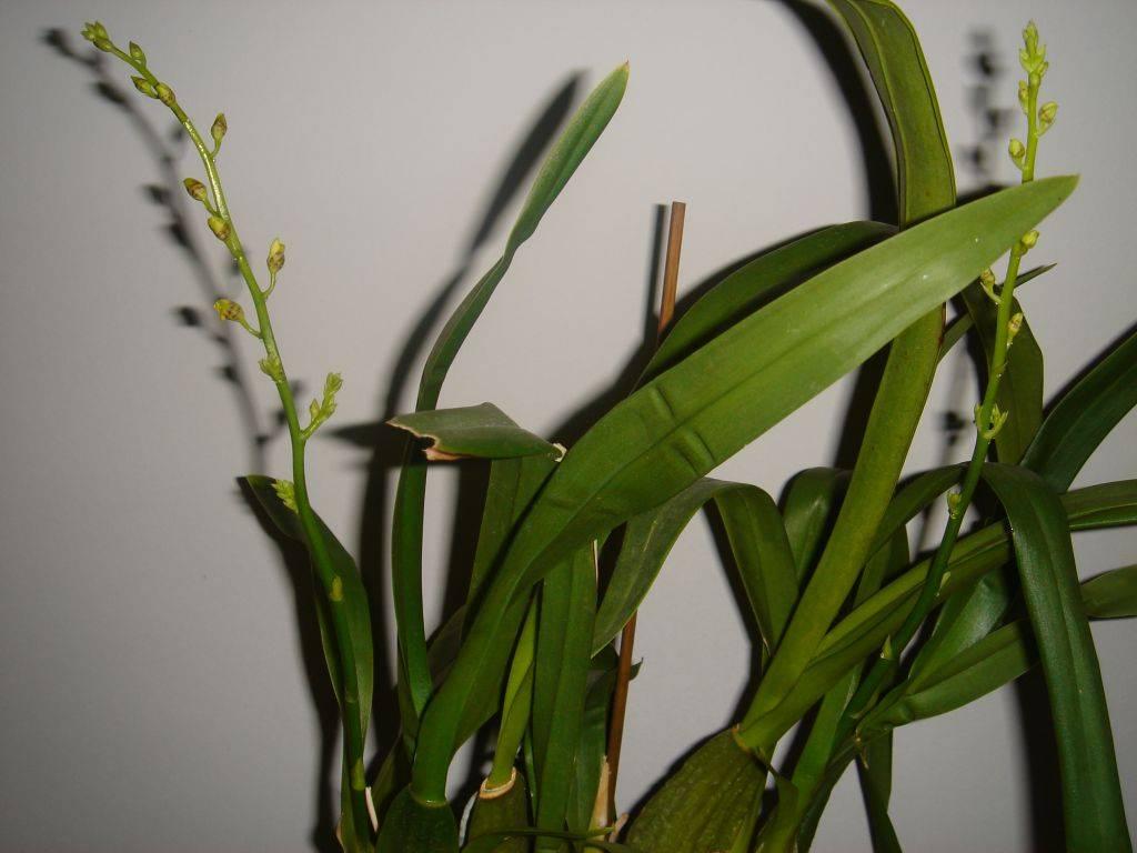 Как получить потомство орхидеи? выращивание детки на цветоносе