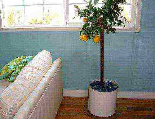 Пересаживаем лимонное дерево