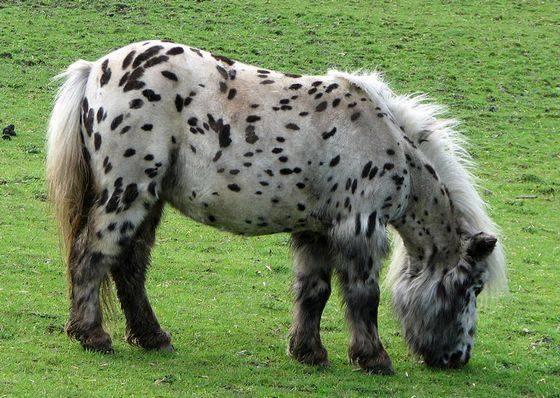 Самые маленькие породы лошадей: описание, размеры