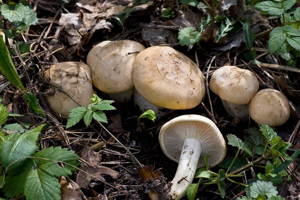 Гриб рядовка майская: фото и описание, как определить съедобный гриб, места распространения