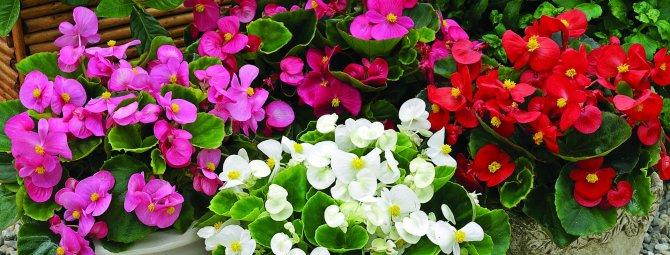 Виды и сорта цветущих бегоний