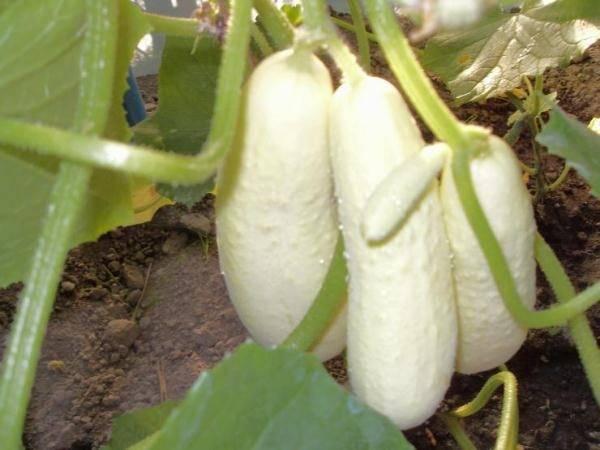 Любимчик многих дачников — сорт огурцов «белый ангел» с необычным внешним видом и приятным вкусом